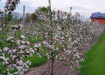 Mosterei Post Altenberge Apfelplantage Apfelblüte
