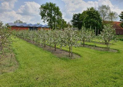Mosterei Post Altenberge Apfelplantage blühende Apfelbäume